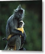 Silvered Leaf Monkey And Baby Metal Print