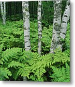Silvery Birch Bark Gleams From A Bed Metal Print