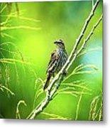 Singing Song Sparrow Metal Print