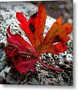 Single Red Leaf  Metal Print