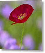 Single Red Poppy  Metal Print