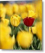 Single Red Tulip Among Yellow Tulips Metal Print