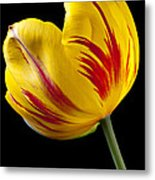 Single Yellow And Red Tulip Metal Print