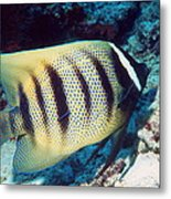 Six-banded Angelfish Metal Print