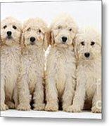 Six Labradoodle Pups Metal Print