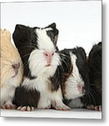 Six Young Guinea Pigs In A Row Metal Print