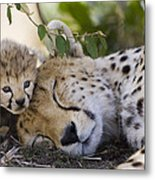 Sleeping Cheetah And Cub Kenya Metal Print