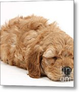 Sleeping Cockerpoo Puppy Metal Print