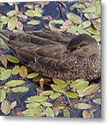 Sleeping Duck Metal Print