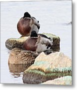 Sleeping Mallards Metal Print