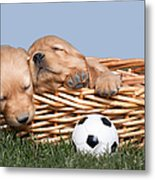 Sleeping Puppies In Basket And Toy Ball Metal Print by Cindy Singleton
