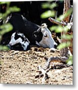 Sleepy Arizona Cows Metal Print