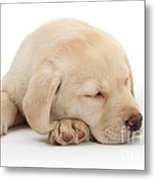 Sleepy Labrador Pup Metal Print