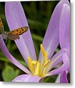 Small Copper Butterfly On Flower Metal Print