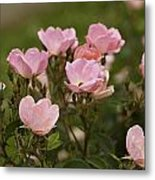 Small Pink Roses In Garden Metal Print by M K  Miller