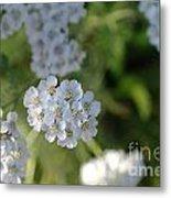 Small White Wildflowers  Metal Print