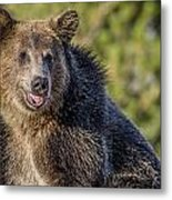 Smiling Grizzly Metal Print