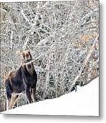 Smiling Moose Metal Print