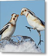 Snow Buntings And Ice Metal Print