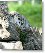 Snow Leopard At Rest. Kitty Time Metal Print