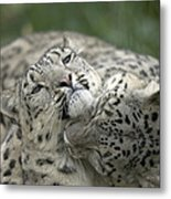Snow Leopards Playing Metal Print