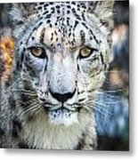 Snow Leopards Stare Metal Print