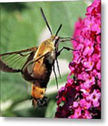 Snowberry Clearwing Moth Metal Print