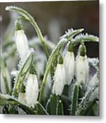 Snowdrops (galanthus Sp.) Metal Print