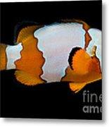 Snowflake Clownfish Metal Print