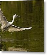 Snowy Egret Fishing In Florida Metal Print