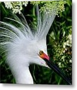 Snowy Egret With Breeding Plumage Metal Print