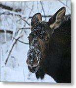 Snowy Nose Metal Print
