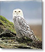 Snowy Owl At Boundary Bay Vancouver Metal Print