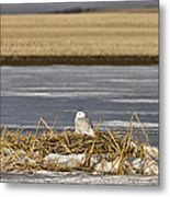 Snowy Owl Perched Frozenpond Metal Print
