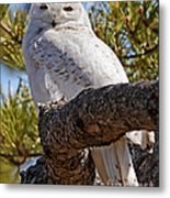 Snowy Owl Resting Metal Print