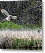 Snowy Owl Searching Food Metal Print