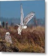 Snowy Owls Metal Print