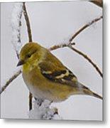 Snowy Yellow Finch Metal Print