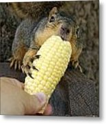So Much Sweet Corn So Little Time Metal Print