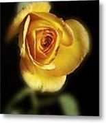 Soft Yellow Rose On Black Metal Print