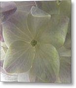 Softly Lit Hygrangea Bloom Metal Print