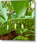 Solomon's Seal Wildflower - Polygonatum Commutatum Metal Print