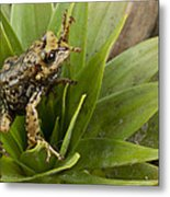 Southern Frog Newly Discovered Species Ecuador Metal Print