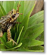Southern Frog Pristimantis Sp, Newly Metal Print