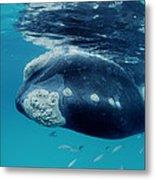 Southern Right Whale Australia Metal Print