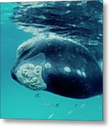 Southern Right Whale Eubalaena Metal Print
