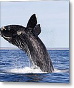 Southern Right Whale Metal Print