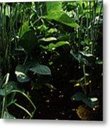 Soybean Leaves Metal Print