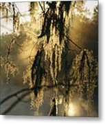 Spanish Moss Hanging From A Tree Branch Metal Print