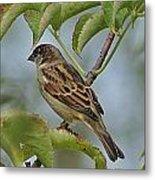 Sparrow I Metal Print